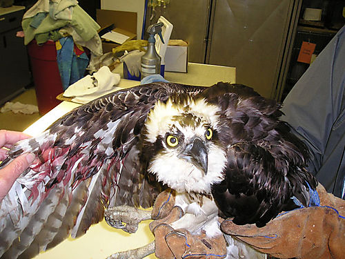 Osprey_injured