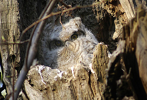 Great_Horned_Owl_2