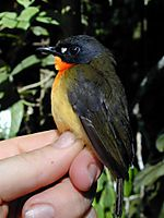 Olive-backed forest robin