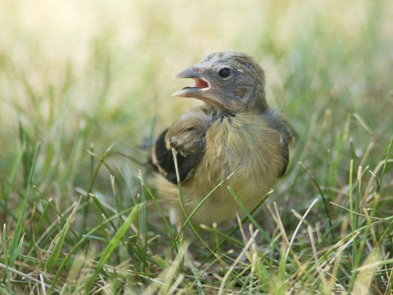 Goldfinch01