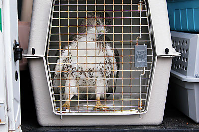 Red-tailed Hawk 01t