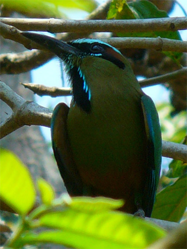 Turquoise-browed-Motmot