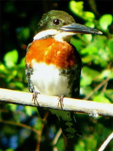 Green-Kingfisher