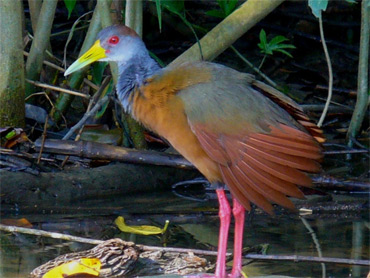 Gray-necked-Wood-Rail