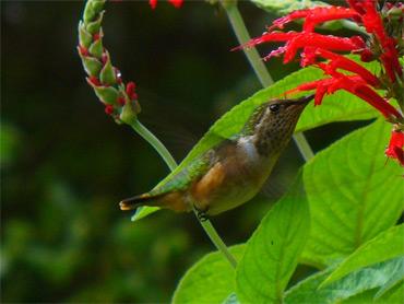 Wine-throated-Hummingbird-f