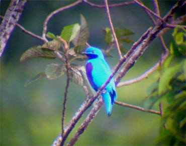 Lovely-Cotinga