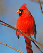 Northern-cardinalflickr