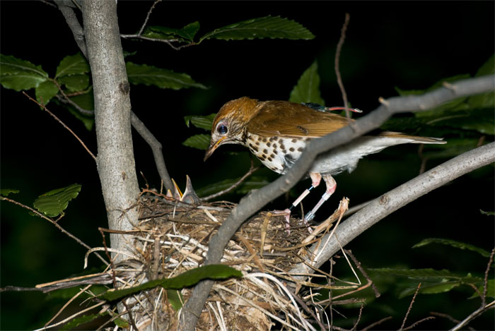 WoodThrush-geolocator
