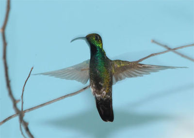 Green-breasted-mango-adult2