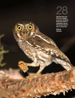 Elf_owl_by_tom_vezo
