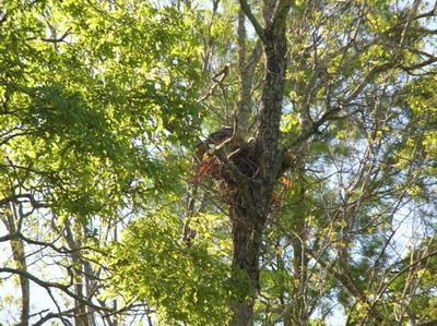 Hawk_nest_2