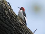 Redheaded_woodpecker