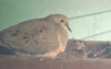 Dove_and_nestling_copy
