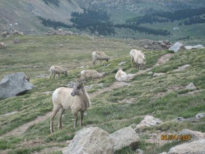 Goats_3