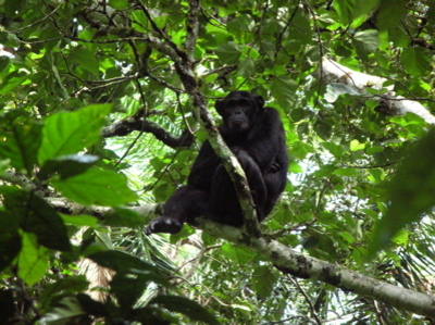 Chimpanzee_at_kibale