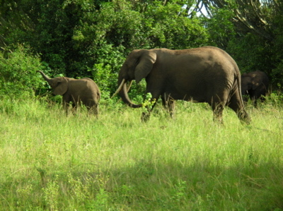 Elephants_at_queen_elizabeth