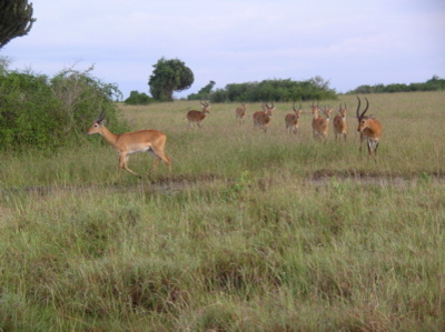 Impalas_at_queen_elizabeth