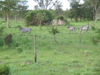 Zebras_at_lake_mburo