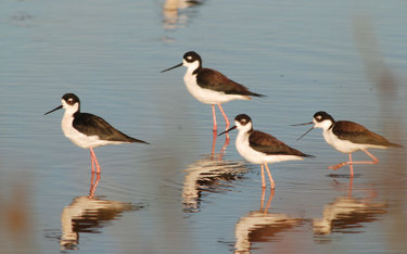 Blacknecked_stilts