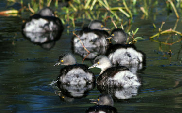 Least_grebe_chicks