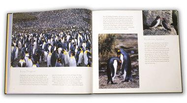 King_penguin_2
