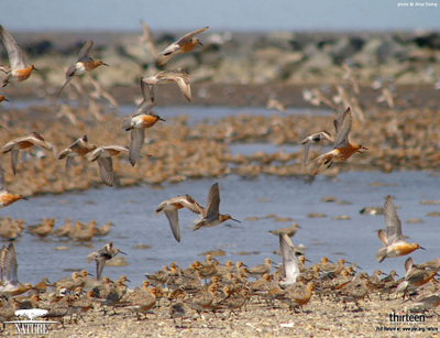 Red_knot_wallpaper