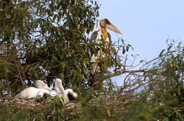 Greater Adjutant Spot-billed Pelican