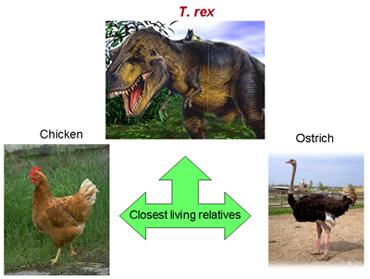 T. rex, Ostrich, chicken